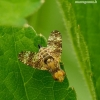 Oxyna flavipennis - Margasparnė   Fotografijos autorius : Romas Ferenca   © Macrogamta.lt   Šis tinklapis priklauso bendruomenei kuri domisi makro fotografija ir fotografuoja gyvąjį makro pasaulį.
