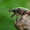 Lapinukas - Phyllobius glaucus | Fotografijos autorius : Romas Ferenca | © Macrogamta.lt | Šis tinklapis priklauso bendruomenei kuri domisi makro fotografija ir fotografuoja gyvąjį makro pasaulį.