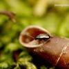 Phyllotreta vittula - Javinė kopūstinukė | Fotografijos autorius : Romas Ferenca | © Macrogamta.lt | Šis tinklapis priklauso bendruomenei kuri domisi makro fotografija ir fotografuoja gyvąjį makro pasaulį.