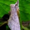 Ilganosis kuoduotis - Pterostoma palpina | Fotografijos autorius : Romas Ferenca | © Macrogamta.lt | Šis tinklapis priklauso bendruomenei kuri domisi makro fotografija ir fotografuoja gyvąjį makro pasaulį.