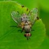Dygliamusė - Siphona sp. | Fotografijos autorius : Romas Ferenca | © Macrogamta.lt | Šis tinklapis priklauso bendruomenei kuri domisi makro fotografija ir fotografuoja gyvąjį makro pasaulį.
