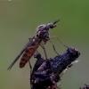 Langinis uodas - Sylvicola punctatus   Fotografijos autorius : Romas Ferenca   © Macrogamta.lt   Šis tinklapis priklauso bendruomenei kuri domisi makro fotografija ir fotografuoja gyvąjį makro pasaulį.