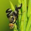 Urophora cardui - Daginė margasparnė   Fotografijos autorius : Romas Ferenca   © Macrogamta.lt   Šis tinklapis priklauso bendruomenei kuri domisi makro fotografija ir fotografuoja gyvąjį makro pasaulį.