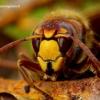 Vespa crabro - Širšuolas | Fotografijos autorius : Romas Ferenca | © Macrogamta.lt | Šis tinklapis priklauso bendruomenei kuri domisi makro fotografija ir fotografuoja gyvąjį makro pasaulį.