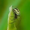 Dryžuotasis plunksnuolis - Mangora acalypha | Fotografijos autorius : Romas Ferenca | © Macrogamta.lt | Šis tinklapis priklauso bendruomenei kuri domisi makro fotografija ir fotografuoja gyvąjį makro pasaulį.