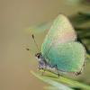 Žalsvasis varinukas - Callophrys rubi   Fotografijos autorius : Deividas Makavičius   © Macrogamta.lt   Šis tinklapis priklauso bendruomenei kuri domisi makro fotografija ir fotografuoja gyvąjį makro pasaulį.