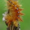 Klevinis strėlinukas - Acronycta aceris | Fotografijos autorius : Deividas Makavičius | © Macrogamta.lt | Šis tinklapis priklauso bendruomenei kuri domisi makro fotografija ir fotografuoja gyvąjį makro pasaulį.