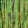 Leucorrhinia pectoralis - Šarvuotoji skėtė | Fotografijos autorius : Deividas Makavičius | © Macrogamta.lt | Šis tinklapis priklauso bendruomenei kuri domisi makro fotografija ir fotografuoja gyvąjį makro pasaulį.