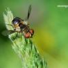 Ectophasia crassipennis - Dygliamusė | Fotografijos autorius : Deividas Makavičius | © Macrogamta.lt | Šis tinklapis priklauso bendruomenei kuri domisi makro fotografija ir fotografuoja gyvąjį makro pasaulį.