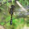 Grakščioji skėtė - Leucorrhinia caudalis | Fotografijos autorius : Deividas Makavičius | © Macrogamta.lt | Šis tinklapis priklauso bendruomenei kuri domisi makro fotografija ir fotografuoja gyvąjį makro pasaulį.