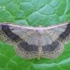 Idaea aversata - Juodajuostis sprindžiukas | Fotografijos autorius : Nomeda Vėlavičienė | © Macrogamta.lt | Šis tinklapis priklauso bendruomenei kuri domisi makro fotografija ir fotografuoja gyvąjį makro pasaulį.