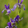 Sibirinis vilkdalgis - Iris sibirica   Fotografijos autorius : Nomeda Vėlavičienė   © Macrogamta.lt   Šis tinklapis priklauso bendruomenei kuri domisi makro fotografija ir fotografuoja gyvąjį makro pasaulį.