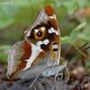 Kilnioji vaiva - Apatura iris | Fotografijos autorius : Nomeda Vėlavičienė | © Macrogamta.lt | Šis tinklapis priklauso bendruomenei kuri domisi makro fotografija ir fotografuoja gyvąjį makro pasaulį.