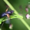 Zophomyia temula - Dygliamusė | Fotografijos autorius : Valdimantas Grigonis | © Macrogamta.lt | Šis tinklapis priklauso bendruomenei kuri domisi makro fotografija ir fotografuoja gyvąjį makro pasaulį.