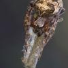 Larinioides cornutus - Nendrinis žnypliavoris   Fotografijos autorius : Vilius Grigaliūnas   © Macrogamta.lt   Šis tinklapis priklauso bendruomenei kuri domisi makro fotografija ir fotografuoja gyvąjį makro pasaulį.
