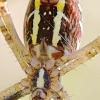 Paprastasis vapsvavoris - Agriope bruennichi iš apačios | Fotografijos autorius : Gediminas Gražulevičius | © Macrogamta.lt | Šis tinklapis priklauso bendruomenei kuri domisi makro fotografija ir fotografuoja gyvąjį makro pasaulį.