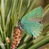 Callophrys rubi - Žalsvasis varinukas   Fotografijos autorius : Gediminas Gražulevičius   © Macrogamta.lt   Šis tinklapis priklauso bendruomenei kuri domisi makro fotografija ir fotografuoja gyvąjį makro pasaulį.