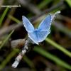 Polyommatus bellargus - Pietinis melsvys | Fotografijos autorius : Rasa Gražulevičiūtė | © Macrogamta.lt | Šis tinklapis priklauso bendruomenei kuri domisi makro fotografija ir fotografuoja gyvąjį makro pasaulį.
