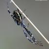 Argiope bruennichi - Paprastasis vapsvavoris | Fotografijos autorius : Gediminas Gražulevičius | © Macrogamta.lt | Šis tinklapis priklauso bendruomenei kuri domisi makro fotografija ir fotografuoja gyvąjį makro pasaulį.