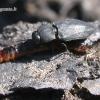 Melanophila acuminata - Išdaginis blizgiavabalis   Fotografijos autorius : Vytautas Uselis   © Macrogamta.lt   Šis tinklapis priklauso bendruomenei kuri domisi makro fotografija ir fotografuoja gyvąjį makro pasaulį.