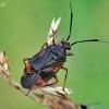 Raudonoji žolblakė - Deraeocoris ruber | Fotografijos autorius : Armandas Kazlauskas | © Macrogamta.lt | Šis tinklapis priklauso bendruomenei kuri domisi makro fotografija ir fotografuoja gyvąjį makro pasaulį.