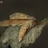 Tuopinis sfinksas - Lathoe populi | Fotografijos autorius : Armandas Kazlauskas | © Macrogamta.lt | Šis tinklapis priklauso bendruomenei kuri domisi makro fotografija ir fotografuoja gyvąjį makro pasaulį.