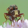 Lenktapilvė musė - Sicus ferrugineus  | Fotografijos autorius : Aivaras Markauskas | © Macrogamta.lt | Šis tinklapis priklauso bendruomenei kuri domisi makro fotografija ir fotografuoja gyvąjį makro pasaulį.