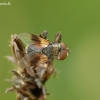 Dygliamusė - Ectophasia crassipennis | Fotografijos autorius : Aivaras Markauskas | © Macrogamta.lt | Šis tinklapis priklauso bendruomenei kuri domisi makro fotografija ir fotografuoja gyvąjį makro pasaulį.