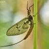 Lašalas - Ephemeroptera | Fotografijos autorius : Aivaras Markauskas | © Macrogamta.lt | Šis tinklapis priklauso bendruomenei kuri domisi makro fotografija ir fotografuoja gyvąjį makro pasaulį.