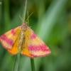 Šviesusis raudonsprindis - Lythria cruentaria  | Fotografijos autorius : Oskaras Venckus | © Macrogamta.lt | Šis tinklapis priklauso bendruomenei kuri domisi makro fotografija ir fotografuoja gyvąjį makro pasaulį.