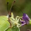Citrinukas - Gonepteryx rhamni    Fotografijos autorius : Oskaras Venckus   © Macrogamta.lt   Šis tinklapis priklauso bendruomenei kuri domisi makro fotografija ir fotografuoja gyvąjį makro pasaulį.