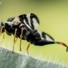 Daginė margasparnė - Urophora cardui    Fotografijos autorius : Oskaras Venckus   © Macrogamta.lt   Šis tinklapis priklauso bendruomenei kuri domisi makro fotografija ir fotografuoja gyvąjį makro pasaulį.