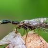 Kupriukas - Raphidia sp. | Fotografijos autorius : Oskaras Venckus | © Macrogamta.lt | Šis tinklapis priklauso bendruomenei kuri domisi makro fotografija ir fotografuoja gyvąjį makro pasaulį.