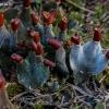 Meškapėdė - Peltigera didactyla | Fotografijos autorius : Oskaras Venckus | © Macrogamta.lt | Šis tinklapis priklauso bendruomenei kuri domisi makro fotografija ir fotografuoja gyvąjį makro pasaulį.