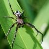 Nendrinis žnypliavoris - Larinioides cornutus  | Fotografijos autorius : Oskaras Venckus | © Macrogamta.lt | Šis tinklapis priklauso bendruomenei kuri domisi makro fotografija ir fotografuoja gyvąjį makro pasaulį.