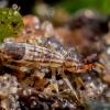 Podūra - Orchesella flavescens | Fotografijos autorius : Oskaras Venckus | © Macrogamta.lt | Šis tinklapis priklauso bendruomenei kuri domisi makro fotografija ir fotografuoja gyvąjį makro pasaulį.