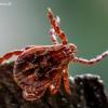 Pievinė erkė - Dermacentor reticulatus | Fotografijos autorius : Oskaras Venckus | © Macrogamta.lt | Šis tinklapis priklauso bendruomenei kuri domisi makro fotografija ir fotografuoja gyvąjį makro pasaulį.