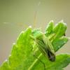 Žolblakė - Oncotylus punctipes | Fotografijos autorius : Oskaras Venckus | © Macrogamta.lt | Šis tinklapis priklauso bendruomenei kuri domisi makro fotografija ir fotografuoja gyvąjį makro pasaulį.
