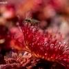 Apskritalapė saulašarė - Drosera rotundifolia  | Fotografijos autorius : Oskaras Venckus | © Macrogamta.lt | Šis tinklapis priklauso bendruomenei kuri domisi makro fotografija ir fotografuoja gyvąjį makro pasaulį.