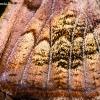 Gluosninis žieminukas - Scoliopteryx libatrix, apatinio sparno fragmentas | Fotografijos autorius : Oskaras Venckus | © Macrogamta.lt | Šis tinklapis priklauso bendruomenei kuri domisi makro fotografija ir fotografuoja gyvąjį makro pasaulį.