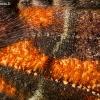 Gluosninis žieminukas - Scoliopteryx libatrix, viršutinio sparno fragmentas | Fotografijos autorius : Oskaras Venckus | © Macrogamta.lt | Šis tinklapis priklauso bendruomenei kuri domisi makro fotografija ir fotografuoja gyvąjį makro pasaulį.