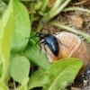 Violetinis gegužvabalis - Meloe violaceus | Fotografijos autorius : Giedrius Markevičius | © Macrogamta.lt | Šis tinklapis priklauso bendruomenei kuri domisi makro fotografija ir fotografuoja gyvąjį makro pasaulį.