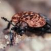 Raudonnugaris maitvabalis - Oiceoptoma thoracicum | Fotografijos autorius : Eglė Vičiuvienė (Černevičiūtė) | © Macrogamta.lt | Šis tinklapis priklauso bendruomenei kuri domisi makro fotografija ir fotografuoja gyvąjį makro pasaulį.
