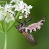 Grybas - Entomophthora muscae | Fotografijos autorius : Žilvinas Pūtys | © Macrogamta.lt | Šis tinklapis priklauso bendruomenei kuri domisi makro fotografija ir fotografuoja gyvąjį makro pasaulį.
