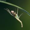 Uodas trūklys - Chironomini | Fotografijos autorius : Žilvinas Pūtys | © Macrogamta.lt | Šis tinklapis priklauso bendruomenei kuri domisi makro fotografija ir fotografuoja gyvąjį makro pasaulį.