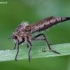 Plėšriamusė - Machimus rusticus ♀ | Fotografijos autorius : Žilvinas Pūtys | © Macrogamta.lt | Šis tinklapis priklauso bendruomenei kuri domisi makro fotografija ir fotografuoja gyvąjį makro pasaulį.