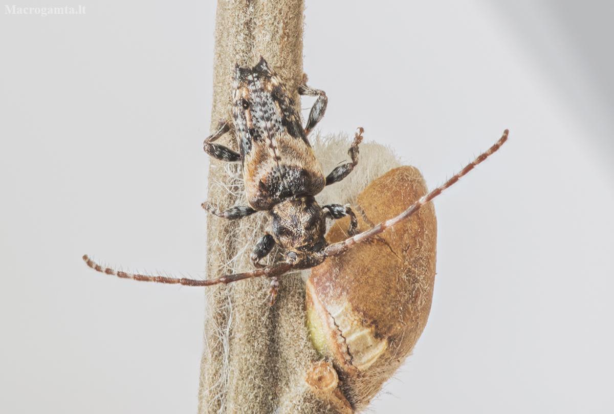 Dygliasparnis žabinukas - Pogonocherus hispidus | Fotografijos autorius : Kazimieras Martinaitis | © Macrogamta.lt | Šis tinklapis priklauso bendruomenei kuri domisi makro fotografija ir fotografuoja gyvąjį makro pasaulį.
