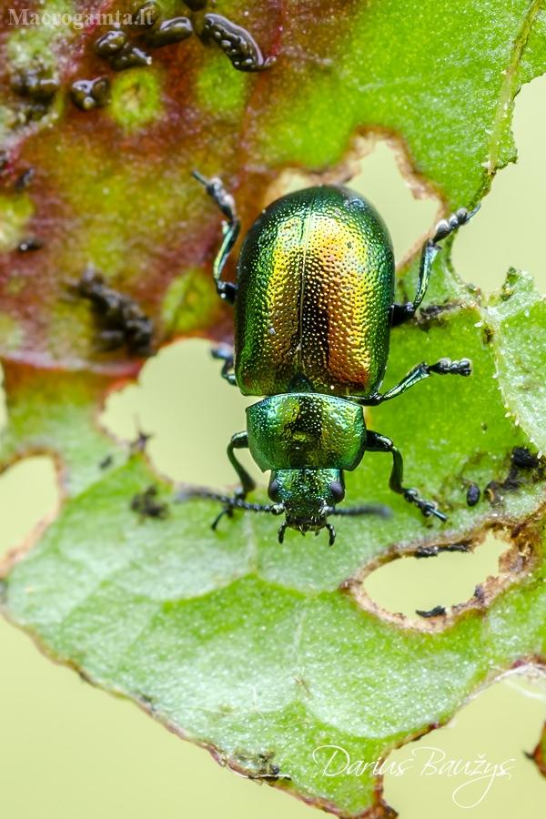 Rūgštyninis rūgtinukas | Green dock leaf beetle | Gastrophysa viridula  | Fotografijos autorius : Darius Baužys | © Macrogamta.lt | Šis tinklapis priklauso bendruomenei kuri domisi makro fotografija ir fotografuoja gyvąjį makro pasaulį.