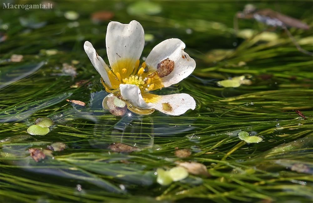 Standžialapė kurklė - Ranunculus longirostris   Fotografijos autorius : Gintautas Steiblys   © Macrogamta.lt   Šis tinklapis priklauso bendruomenei kuri domisi makro fotografija ir fotografuoja gyvąjį makro pasaulį.