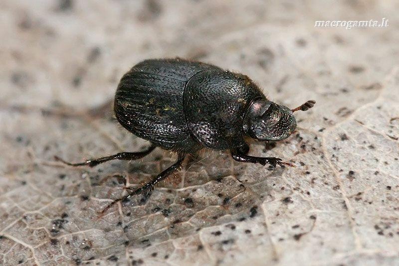 Mėšlagraužis - Onthophagus ovatus | Fotografijos autorius : Gintautas Steiblys | © Macrogamta.lt | Šis tinklapis priklauso bendruomenei kuri domisi makro fotografija ir fotografuoja gyvąjį makro pasaulį.